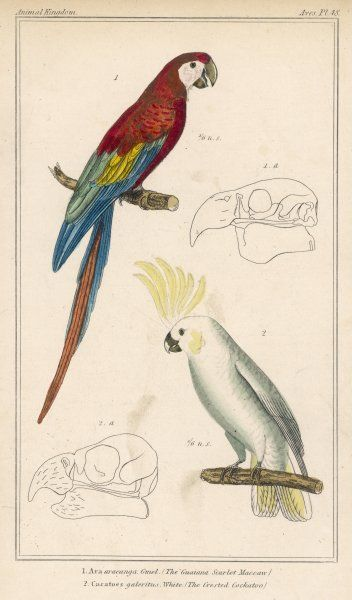GUYANA SCARLET MACAW (Ara aracanga) and CRESTED COCKATOO (Cacatores galoritus) Date: early 19th century