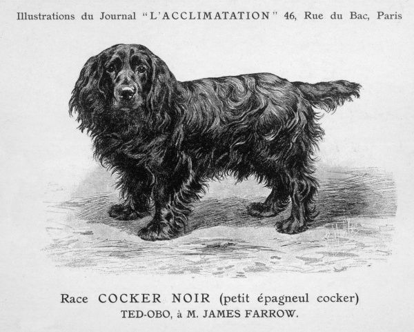 Black Cocker Spaniel. Dog standing side on with his head turned face