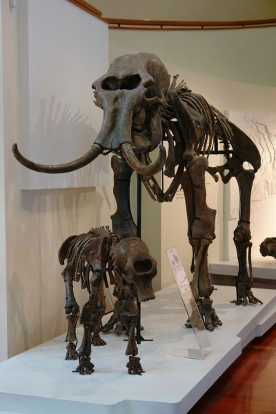 Two mammoth skeletons (female and young) on display in the museum at Khanty Mansiysk, Western Siberia, Russia