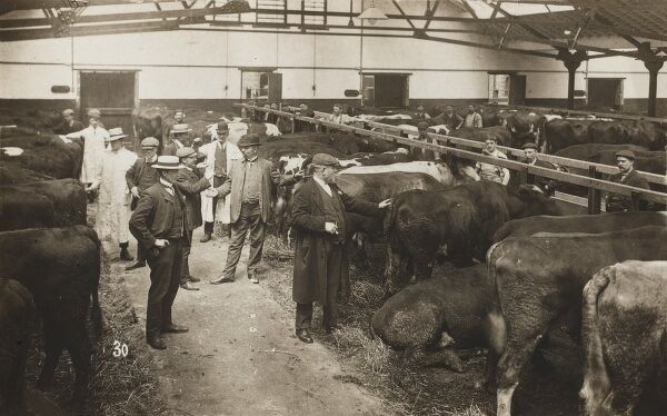 Cattle auction brought in from Ireland by ship and unloaded on the Manchester Ship Canal