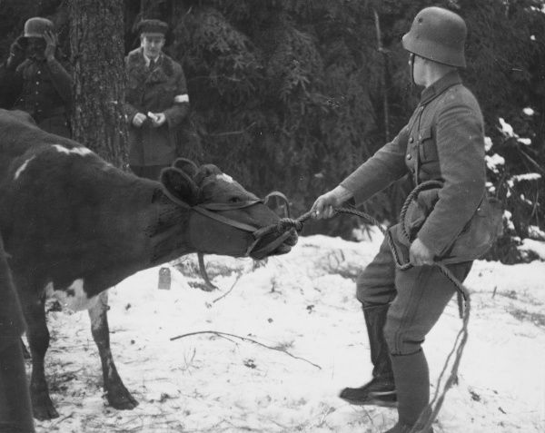 The Finnish divisions take with them their own livestock including cows and hens on the Mannerheim line in Finland during World War II
