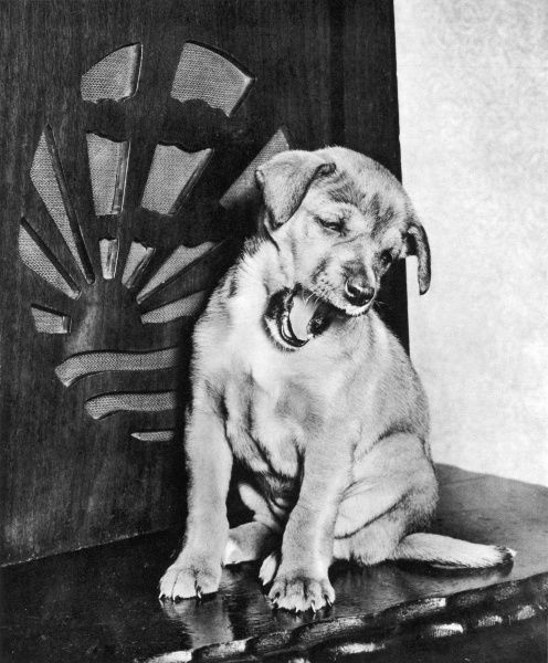 A small puppy yawns while sitting in front of an old-fashioned wireless radio set
