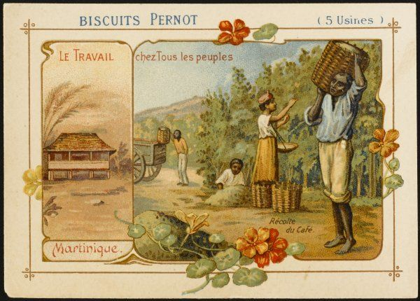 Martinique - Harvesting coffee to satisfy the cravings of picture researchers and sustain them in their work