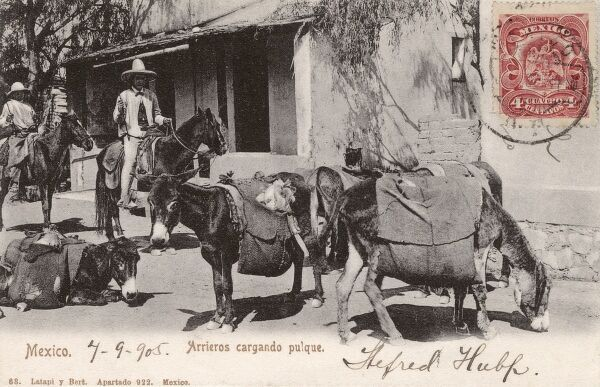 A tlachiquero on a burro with a load of pulque (an alcoholic beverage) in the saddlebags of a group of other donkeys. Date: circa 1905