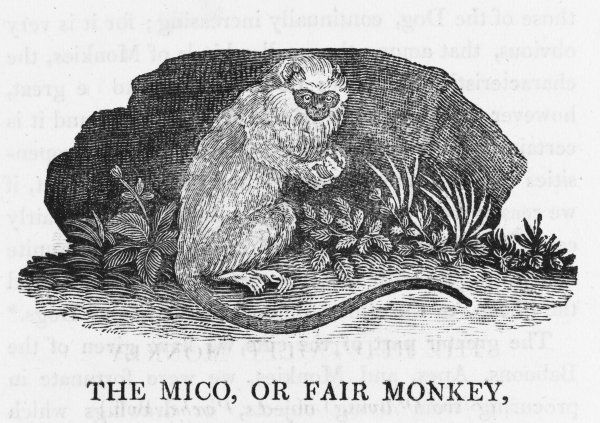 Latin name unknown to Bewick who thinks this Amazon resid- ent the most beautiful of all monkeys - 'face and ears of so lively a vermilion colour as to appear the effect of art&#39