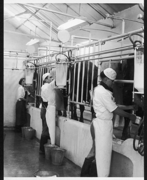 Students of East Sussex Agricultural School using milking machines Date: 1950s
