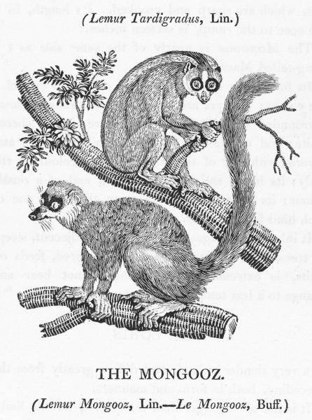 The lower creature is the lemur mongooz : the upper the TAILLESS MACAUCO - lemur tardigradus - who spends its life envying the mongoose its tail : both live in India