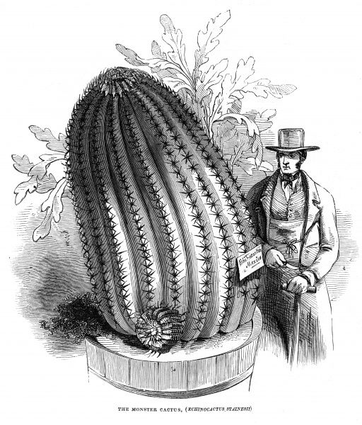 Engraving of a monster cactus (Echinocactus Stainesii) housed in the collection of the Royal Botanic Gardens, Kew, Surrey in 1845. Date: 4 January 1845