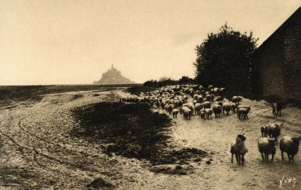 Mont St Michel, Normandy, France - Sheep moving from their grazing ground on the salt meadows around Mont Saint Michel (Les Pres Sales) and accordingly the meat of the lambs/sheep has a wonderful flavour to it