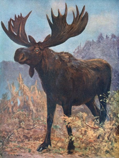 A moose or elk (alces machlis)