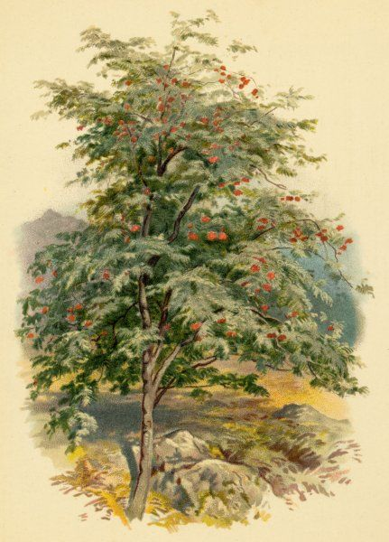 A mountain ash or rowan tree