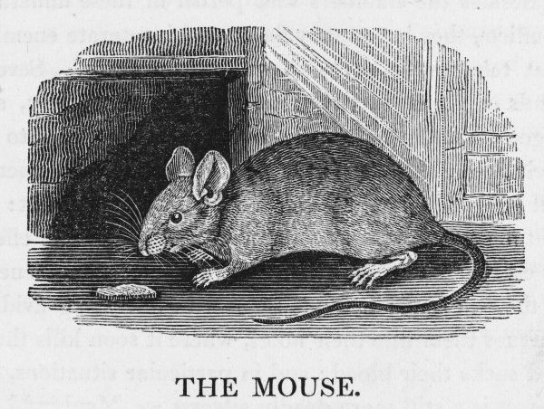 mus musculus - COMMON MOUSE terror of housemaids, target of mousetrap-makers, prey of cats and farmers' wives - but we all have a sneaking fond- ness for this cute creature