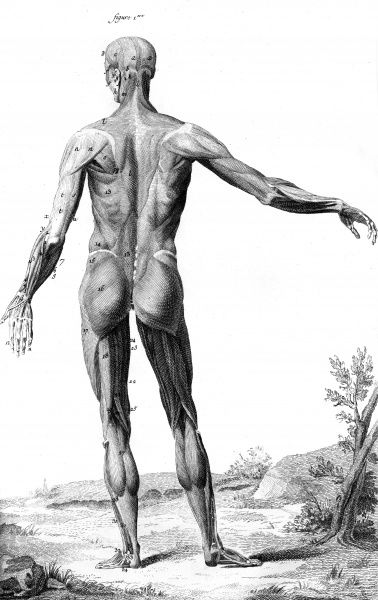 Muscles of the human body and head as seen from behind according to the German anatomist Albinus. Date: Circa 1760