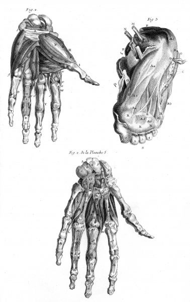 Muscles of the hand (from both side) and the foot (from underneath). Date: Circa 1760