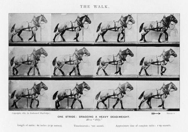 Horse : cart horse walking