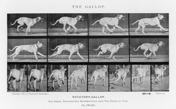 Dog (mastiff) galloping - one stride photographed synchronously from two points of view