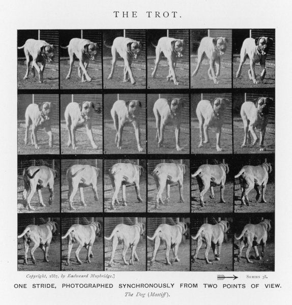 Dog (mastiff) trotting : One stride, photographed synchronously from two points of view