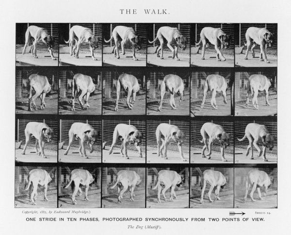 Dog (mastiff) walking: One stride in ten phases, photographed synchronously from two points of view Date: 1880s