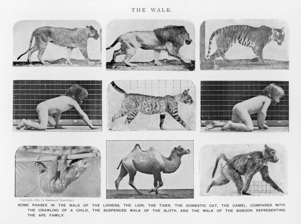lion, tiger, human, baby, leopard, sloth, monkey - each walking or crawling in its own way