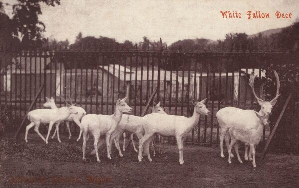 Mysore, India - White Fallow Deer in the Zoological Gardens Date: circa 1910