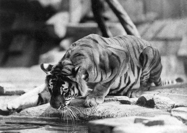 This tiger, accustomed to drinking only out of his own bowl, sees his reflection in the water for the first time and strikes the supposed adversary with his claw! Date: 1930s