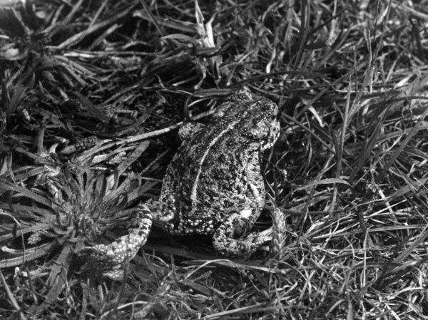 A Natterjack Toad in the grass. Date: 1930s