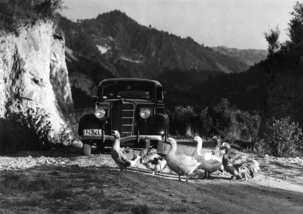 In the rugged beauty of outlying districts of New Zealand, honking geese defy the impertinence of a car intruding into their world! Scene near Wanganui River. Date: 1930s