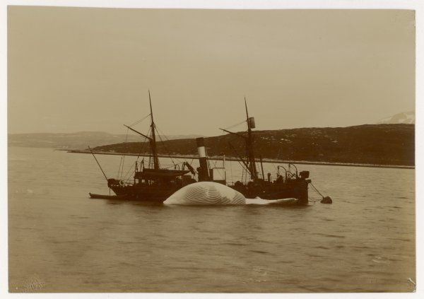 Norwegian fishing boat with a whale