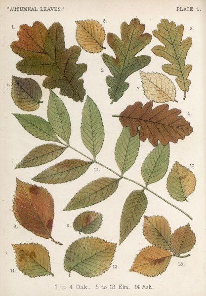 Oak, elm and ash tree leaves