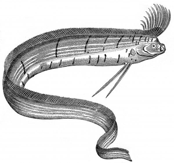 Engraving showing an Oarfish, or Regalecus Glesne, which was on display at the Cosmorama, Regent Street, London, in 1849