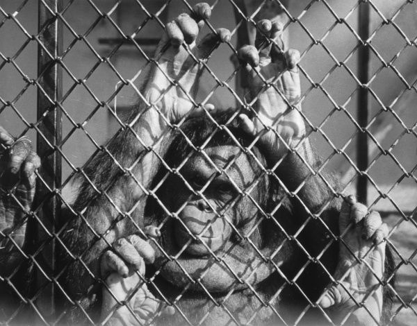 An orang-outang looks through the mesh... Date: 1950s