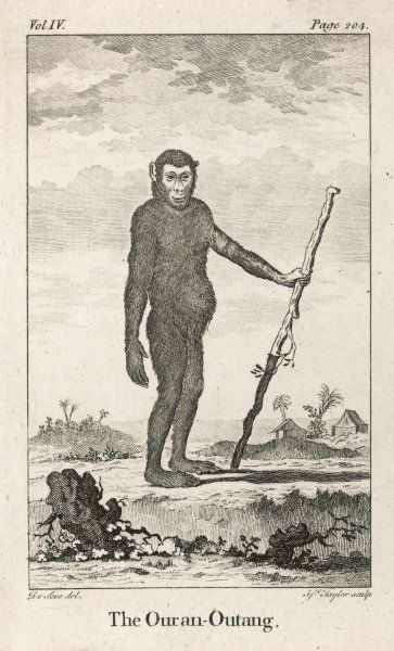 (pongo pygmaeus) 18th century savants considered the orang to be the closest to humankind : this one could almost be a species of homo erectus