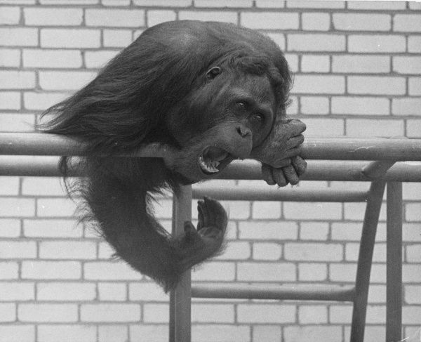 An orang utan sitting on his perch in the zoo. By the fierce expression on his face he seems to be annoyed or upset about something