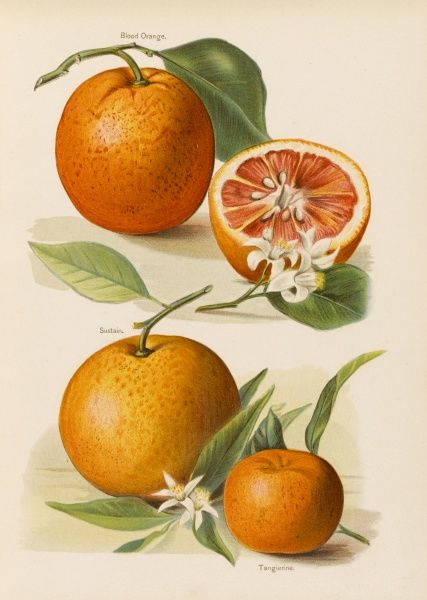 Blood Orange (with blossom) Sustain Tangierine (sic, now ka tangerine) (with blossom)