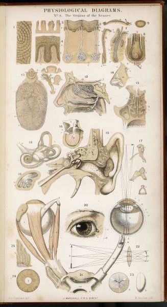 Various diagrans of the organs of the senses