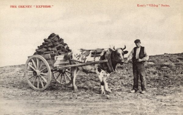 A slightly mocking postcard entitled: 'The Orkney Express', depicting an ox-drawn cart carrying peat and a local farmer Date: 1910s