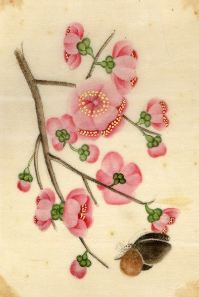 Oriental style depiction of pink cherry blossom showing the branch, buds and open flowers. A small brown butterfly makes for a choice flower