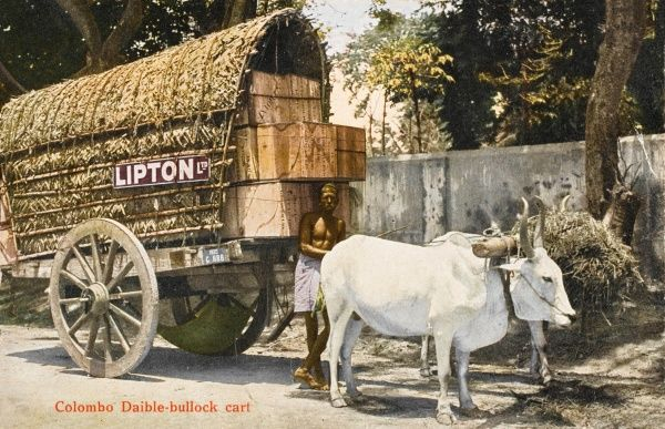 Colombo, Sri Lanka - a wagon of the Lipton Ltd. Tea company bearing a mass of wooden tea chests and pulled by a pair of white oxen. Date: circa 1910s