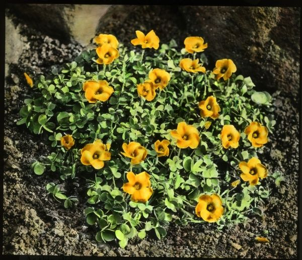 Oxalis Lobata or Perdicaria (Sorrel), a perennial flowering plant of the Oxalidaceae family, with yellow-orange flowers
