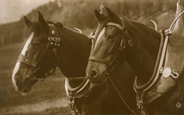 Pair of Heavy Working Horses with large collars Date: circa 1910s