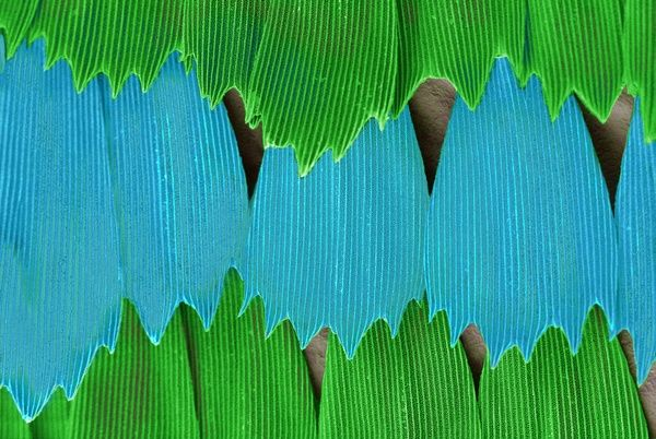 SEM image of an emerald swallowtail wing. Date