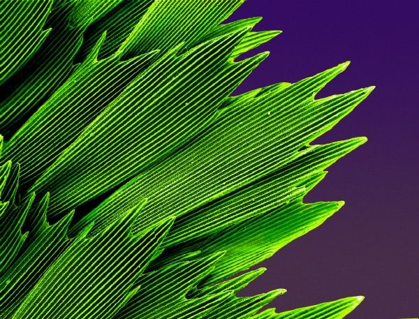 SEM image of an emerald swallowtail's wing. Date