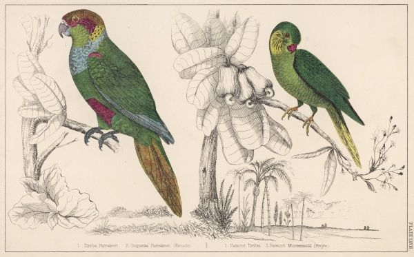 The TIRIBA PARAKEET and the COQUETTE PARAKEET (or PARAQUET) Two members of the Palaeornithinae family