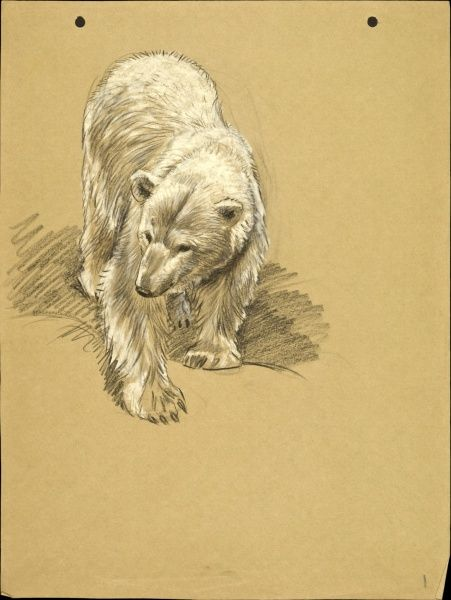 A Polar Bear. Pastel drawing by Raymond Sheppard