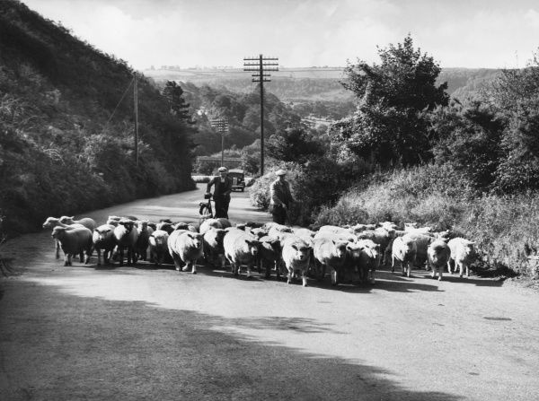 Sheep being herded down a country road to pastures new - or perhaps to a fair or market