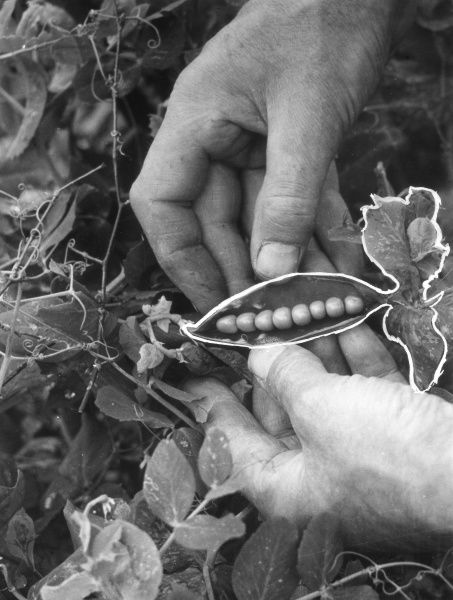 Peas in the pod. Date: 1950s
