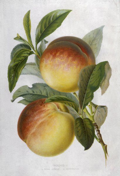 Two peaches: a Royal George and a Barrington
