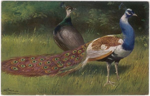 A peahen and her mate (Pavo cristatus)