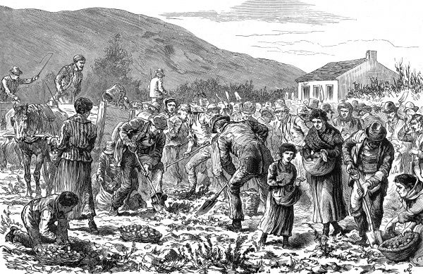 Peasants seize the potato crop of an evicted tenant near Tralee, Kerry, in Ireland. Men, women and children dig for the unharvested potatoes with shovels, spades and their bare hands