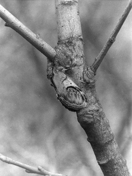 A Pebble Prominant Moth, camouflaged against the branch of a tree. Date: 1950s